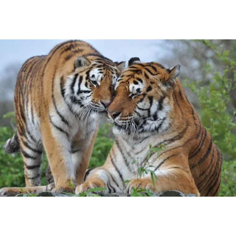 Tea with the Tigers  for Two at Paradise Wildlife Park product image