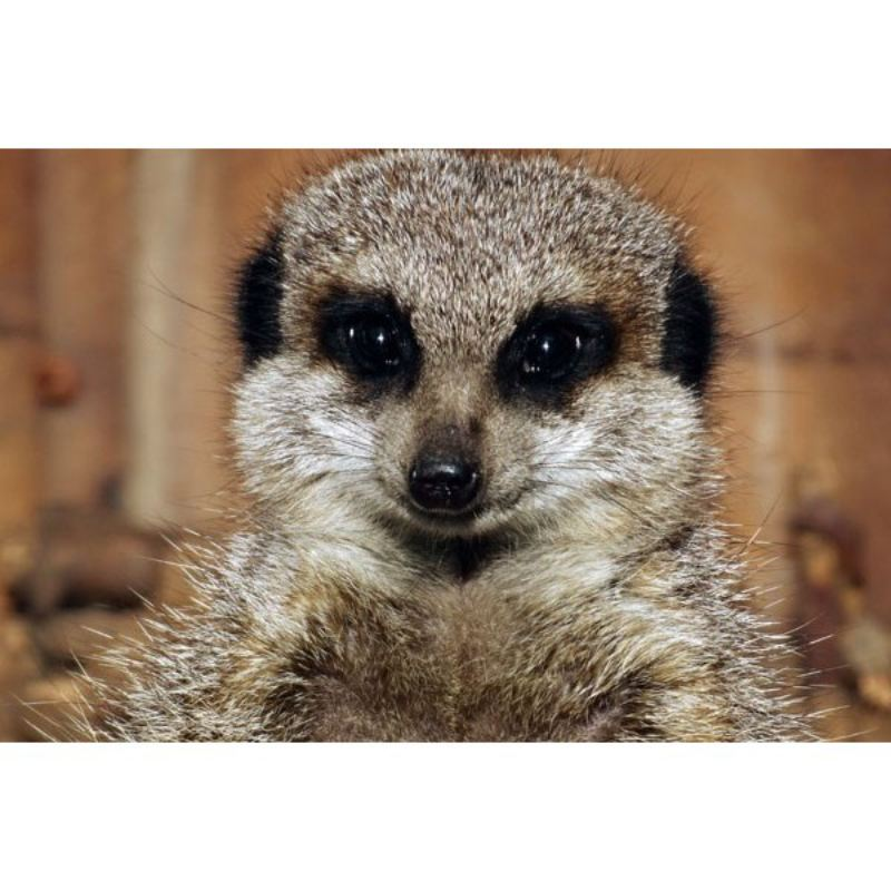 2 for 1 Raccoon Dog and Meerkat Experience Special Offer product image
