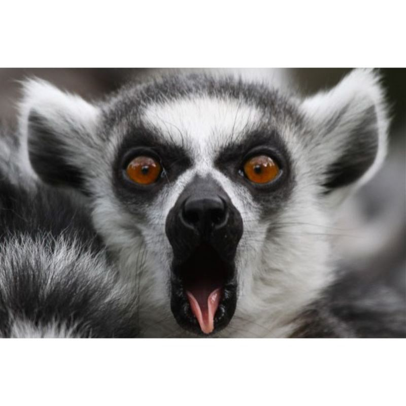 Meet the Lemurs Experience at Paradise Wildlife Park product image